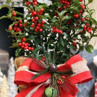 """This table-top tree is a 'real' holly plant with shimmering forest green foliage with seasonal red berries and is about 22 inches in height. The Holly-Berry Tree is accessorized with the trendy burlap container liner accented with the festive bow and jingle bell ornament."""">"""