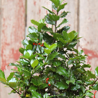 "This table-top tree is a 'real' holly plant with shimmering forest green foliage with seasonal red berries and is about 22 inches in height. The Holly-Berry Tree is accessorized with the trendy burlap container liner accented with the festive bow and jingle bell ornament."">"